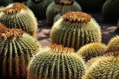 Golden Barrel Cactus. Golden Ball or, amusingly, Mother-in-Law's Cushion (Echinocactus grusonii) is a well known species of cactus native to central Mexico royalty free stock image