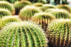 Golden Barrel Cactus. Golden ball cactus / Echinocactus grusonii stock image