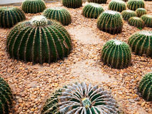 Golden barrel cactus. Golden ball cactus / Echinocactus grusonii royalty free stock images