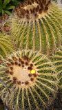 Golden barrel cactus blooming. Close up of Barrel cacti with one yellow flower and sharp spines royalty free stock image