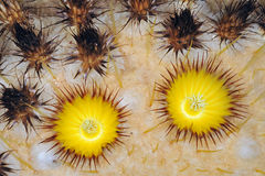 Golden Barrel Cactus Blossoms. Close-up of the flowers of a golden cactus stock images