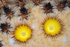 Golden Barrel Cactus Blossoms Stock Images