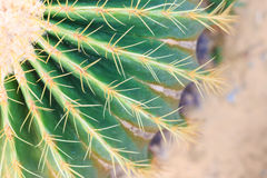 Golden Barrel Cactus in a Cactus garden. Royalty Free Stock Image