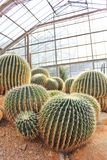Golden Barrel Cactus in a Cactus garden. Golden Barrel Cactus in a Cactus garden green house Stock Images