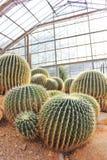 Golden Barrel Cactus in a Cactus garden. Stock Images