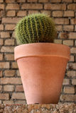 Golden barrel cactus in a clay pot Royalty Free Stock Photo