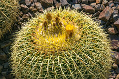 Golden barrel cactus close up. Golden barrel cactus with buds close up. Ornamental yellow globe cacti nature background stock images