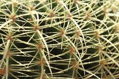 Golden Barrel Cactus. Close up of a healthy golden barrel cactus royalty free stock image