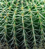 Golden barrel cactus close up. Close up of Golden barrel cactus ideal as background Stock Images