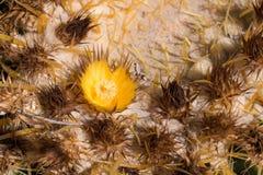 Golden Barrel Cactus in desert. stock images