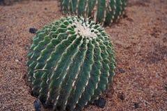 GOLDEN BARREL CACTUS, decoration plant. GOLDEN BARREL CACTUS, desert plant for garden decoration stock image