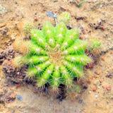 Golden barrel cactus Royalty Free Stock Image