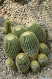 Golden Barrel Cactus Stock Images