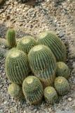 Golden Barrel Cactus. Different sizes of golden barrel cactus stock images