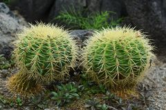 Golden barrel cactus royalty free stock photos