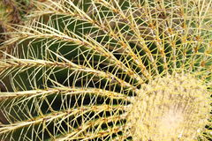 Golden barrel cactus, Echinocactus Grusonii Stock Photography