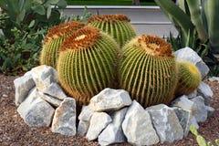 Golden barrel cactus. Or Echinocactus grusonii royalty free stock photo