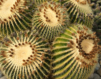 Golden barrel cactus. Echinocactus grusonii, barrel cactus, golden barrel cactus, golden ball cactus, golden ball, a cactus with single or clustered stems royalty free stock photography