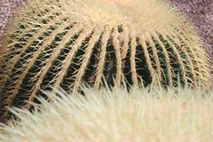 Golden Barrel Cactus - Echinocactus Grusonii. Big `Golden Barrel Cactus` or Golden Ball, Mother In Laws Cushion in St. Gallen, Switzerland. Its scientific name stock photo