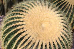 Golden Barrel Cactus - Echinocactus Grusonii. Big `Golden Barrel Cactus` or Golden Ball, Mother In Laws Cushion in St. Gallen, Switzerland. Its scientific name royalty free stock photography