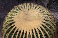 Golden Barrel Cactus - Echinocactus Grusonii. Big `Golden Barrel Cactus` or Golden Ball, Mother In Laws Cushion in St. Gallen, Switzerland. Its scientific name royalty free stock photos