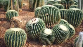 Golden barrel cactus or Echinocactus grusonii in the botanic garden. Close up of a round green cactaceae with spikes. Echinocactu stock photos