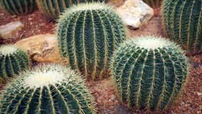 Golden barrel cactus or Echinocactus grusonii in the botanic garden. Close up of a round green cactaceae with spikes. Echinocactu. S grusonii Hildm royalty free stock photos