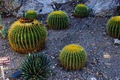 Golden barrel cactus royalty free stock photo