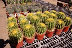 Golden barrel cactus stock photos