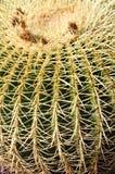 Golden barrel cactus, Echinocactus Grusonii Stock Images