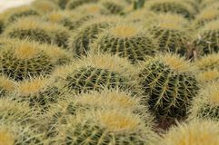 Golden Barrel Cactus Echinocactus grusonii community. Barrel cactus are various members of the two genera Echinocactus and Ferocactus, found in the deserts of royalty free stock photography