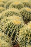 Golden Barrel Cactus Echinocactus grusonii community. Barrel cactus are various members of the two genera Echinocactus and Ferocactus, found in the deserts of stock photography