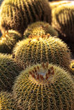 Golden barrel cactus Echinocactus grusonii. Flourishes in the desert of Mexico royalty free stock photography