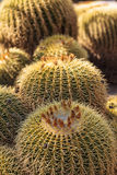 Golden barrel cactus Echinocactus grusonii. Flourishes in the desert of Mexico royalty free stock image