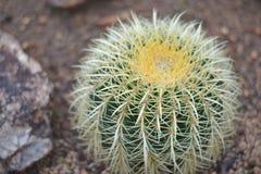 Golden barrel cactus. /Echinocactus Grusonii in garden stock photo