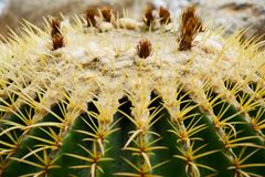Golden barrel cactus or Echinocactus grusonii Hildm, this is the desert tree which were many thorns , its body look like the green royalty free stock images