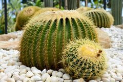 Golden barrel cactus or Echinocactus grusonii Hildm, this is the desert tree which were many thorns , its body look like the green. Ball and brown flower. This stock photos