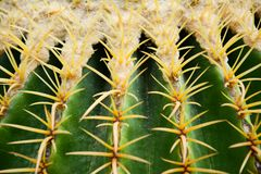 Golden barrel cactus or Echinocactus grusonii Hildm, this is the desert tree which were many thorns , its body look like the green royalty free stock photo