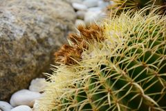 Golden barrel cactus or Echinocactus grusonii Hildm, this is the desert tree which were many thorns , its body look like the green royalty free stock photos