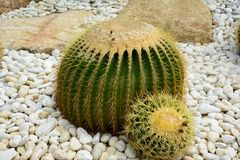 Golden barrel cactus or Echinocactus grusonii Hildm, this is the desert tree which were many thorns , its body look like the green. Ball and brown flower. This stock photography