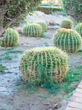 Golden barrel cactus or Echinocactus grusonii Hildm, outdoor. Golden barrel cactus or Echinocactus grusonii Hildm, this is the desert tree which were many thorns royalty free stock photo