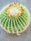 Golden ball cactus Echinocactus grusonii background, green. Golden barrel cactus or Echinocactus grusonii Hildm, this is the desert tree which were many thorns royalty free stock photos