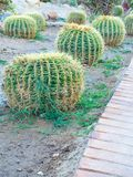 Golden barrel cactus or Echinocactus grusonii Hildm, outdoor. Golden barrel cactus or Echinocactus grusonii Hildm, this is the desert tree which were many thorns royalty free stock photos