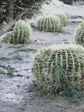 Golden barrel cactus or Echinocactus grusonii Hildm, outdoor. Golden barrel cactus or Echinocactus grusonii Hildm, this is the desert tree which were many thorns stock photo