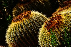 Golden barrel cactus ( Echinocactus grusonii ) i Stock Photos
