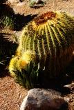 Golden barrel cactus ( Echinocactus grusonii ) i Stock Images