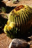 Golden barrel cactus ( Echinocactus grusonii ) i. N the desert Boyce Thompson Arboretum State Park, Arizona stock images