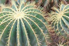 Golden Barrel Cactus, Echinocactus Grusonii Plant, closeup. Large round plant, macro background royalty free stock image