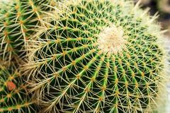 Golden Barrel Cactus, Echinocactus Grusonii Plant. In the pots. thailand royalty free stock photos