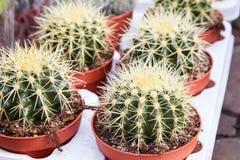 Golden Barrel Cactus, Echinocactus Grusonii Plant. Echinocactus grusonii rainbow in pots, house plant, succulent. Golden Barrel Cactus, Echinocactus Grusonii royalty free stock photography